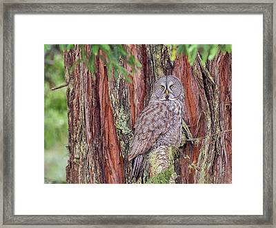 Great Grey Owl In A Giant Redwood Framed Print by Loree Johnson