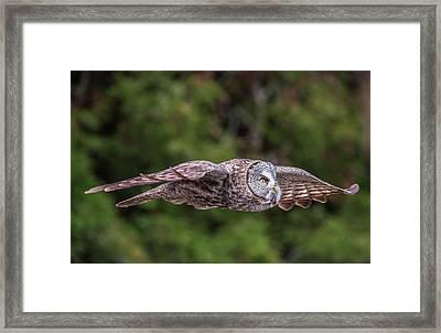 Great Grey Owl In Flight Framed Print by Loree Johnson