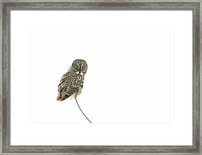Framed Print featuring the photograph Great Grey Owl On White by Mircea Costina Photography