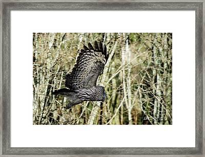 Great Grey's Flight Framed Print by Torbjorn Swenelius