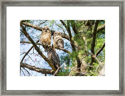 Great Horned Owl Family Framed Print