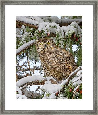Great Horned Owl In Snow Framed Print by Jack Bell