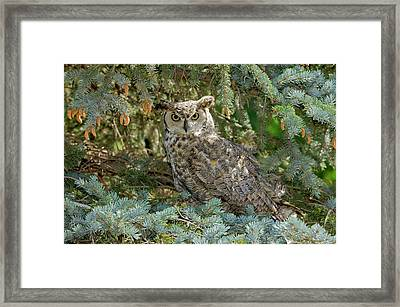 Great Horned Owl Framed Print by James Steele