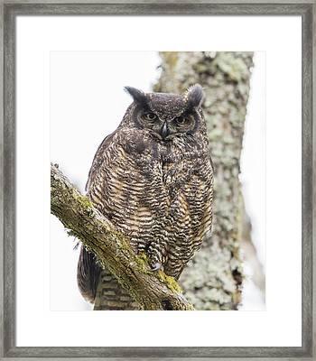 Great Horned Owl Mama Framed Print