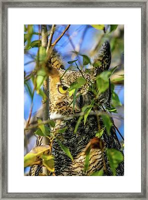 Great Horned Owl Peeking At It's Prey Framed Print
