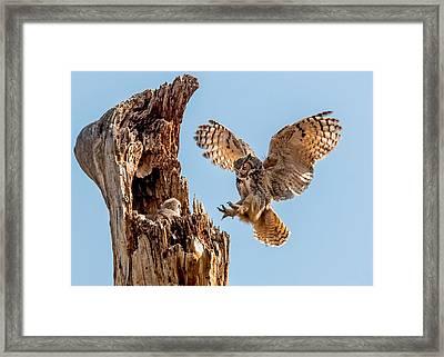 Great Horned Owl Returning To Her Nest Framed Print
