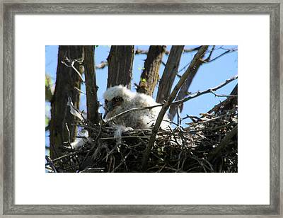 Great Horned Owlet Framed Print by Jeff Swan