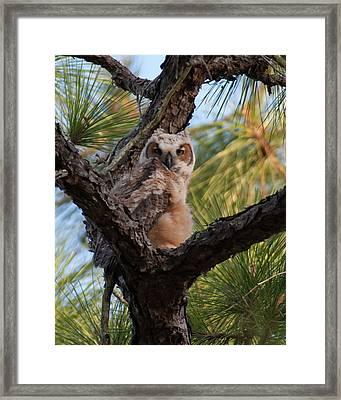 Great Horned Owlet Framed Print by Paul Rebmann