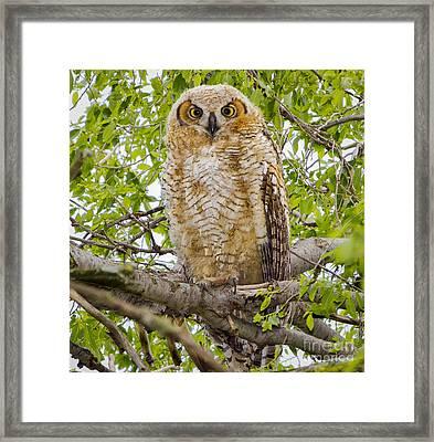 Great Horned Owlet Framed Print by Ricky L Jones