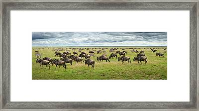 Great Migration In Serengeti Plains Framed Print