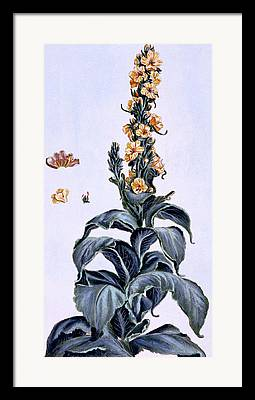 Common Mullein Plant Framed Prints
