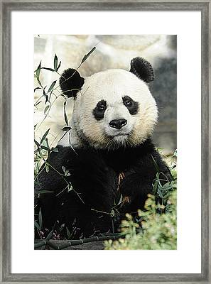 Great Panda II Framed Print