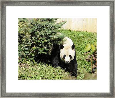 Great Panda Iv Framed Print by Keith Lovejoy
