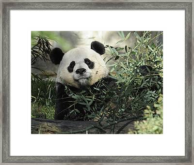 Great Panda Framed Print by Keith Lovejoy