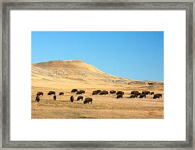Great Plains Buffalo Framed Print by Todd Klassy