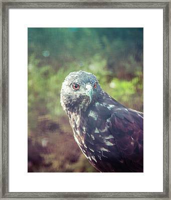 Great Plains Red-tailed Hawk Framed Print by Betsy Armour