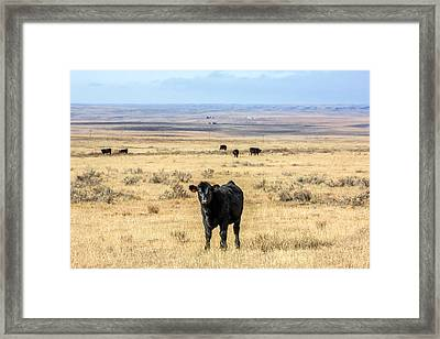 Great Plains Steer Framed Print by Todd Klassy