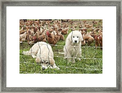 Great Pyrenees Pups Guard Chickens Framed Print by Inga Spence