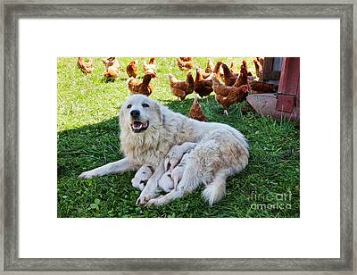 Great Pyrenees With Litter Framed Print by Inga Spence