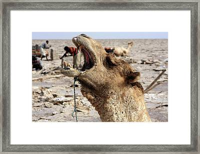 Great Rift Valley Camel Framed Print