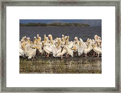 Great Rift Valley Pelicans Framed Print