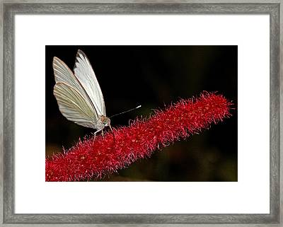 Framed Print featuring the photograph Great Southern White by Judy Vincent