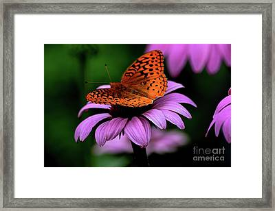 Great Spangled Fritillary Framed Print by Brenda Bostic