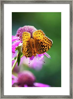 Great Spangled Fritillary Butterfly Framed Print by Christina Rollo
