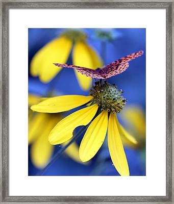 Great Spangled Fritillary On Yellow Coneflower Framed Print