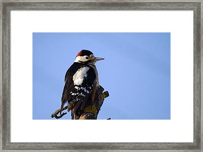 Great Spotted Woodpecker Against Blue Sky Framed Print