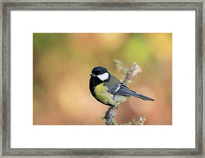 Great Tit - Parus Major Framed Print