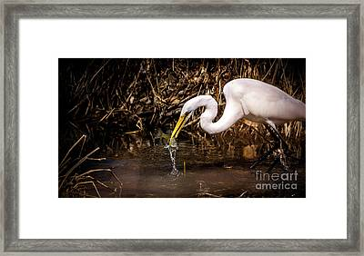 Great White Egret And Bluegill Framed Print by Robert Frederick