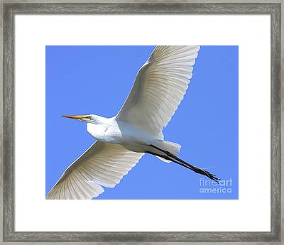 Great White Egret In Flight . 40d6850 Framed Print by Wingsdomain Art and Photography
