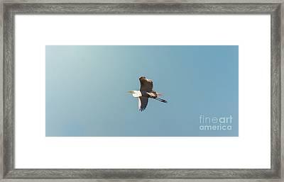 Great White Egret In Flight Framed Print by Robert Frederick
