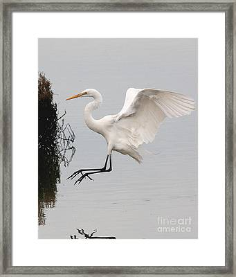 Great White Egret Landing On Water Framed Print by Wingsdomain Art and Photography
