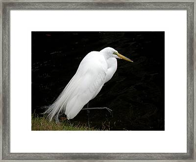 Framed Print featuring the photograph Great White Egret by Rosalie Scanlon