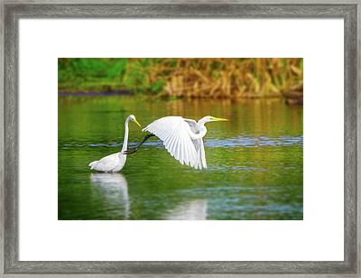 Great White Egrets Framed Print by Mark Andrew Thomas