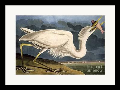 Great White Heron Framed Prints