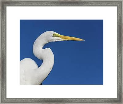 Great White Heron Framed Print