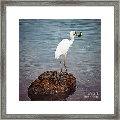 Great White Heron With Fish Framed Print by Elena Elisseeva