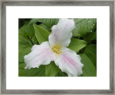 Great White Trillium Framed Print