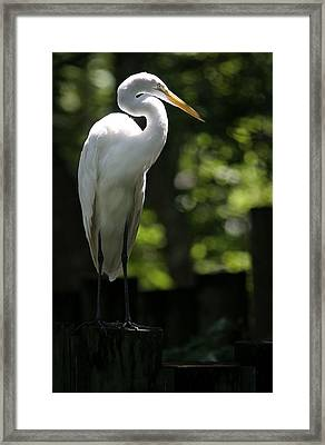 Great White Framed Print by Patrick Ziegler