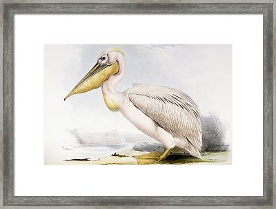 Great White Pelican Framed Print by Edward Lear