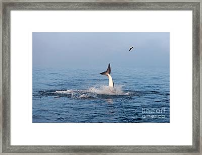Great White Shark Carcharodon Carcharias Framed Print