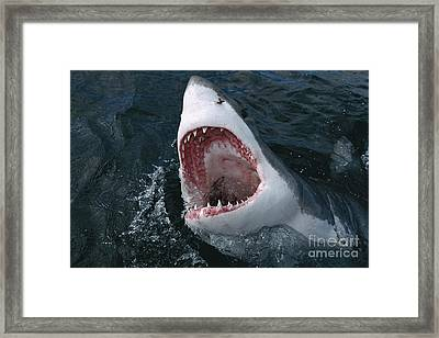 Great White Shark Jaws Framed Print by Mike Parry