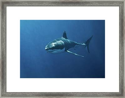 Great White Shark Framed Print by John White Photos