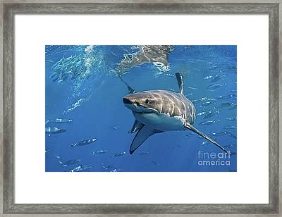 Great White Shark Framed Print by Thomas Pollart