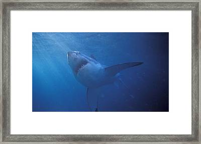 Great White Shark With Light Rays Framed Print by James Forte