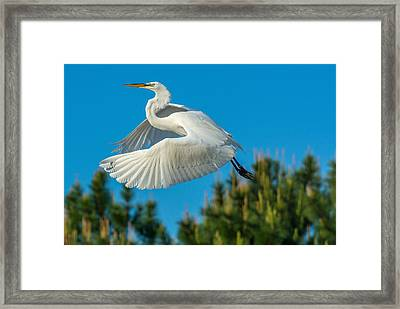 Great White Framed Print
