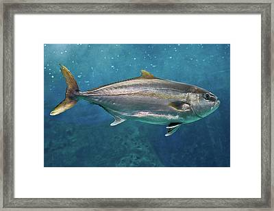 Greater Amberjack Framed Print by Stavros Markopoulos